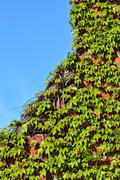 Wild grapes on the old brick wall Stock Photos