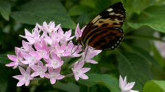 4K FHD Butterfly Tiger Longwing Postman pollinating flower Stock Footage