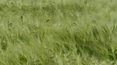 rye ears swaying in the wind closeup 4K UHD - stock footage