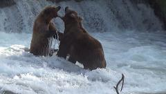 Brown Bears Almost Fight in Mating Season:  Dispute Between Boar and Sow Stock Footage