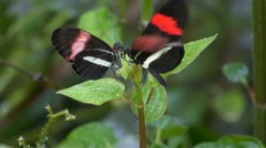 Slow Motion Butterfly Tiger Longwing Postman flying mating Stock Footage
