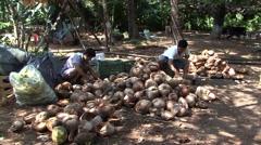 Mexican men sorting coconuts Stock Footage