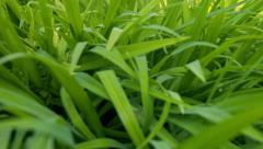 Dolly in shot through green leaves close up Stock Footage