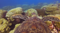 Green turtle swimming throug fishes - stock footage
