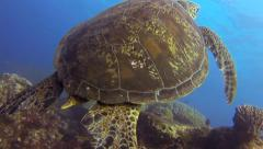 Green turtle in the pacific ocean - stock footage