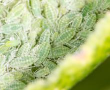 aphids on a green leaf. close - stock photo