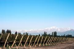 Early morning in the vineyards. Volcano Aconcagua Cordillera. Andes mountain - stock photo