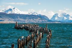King Cormorant colony, Old Dock, Puerto Natales, Antarctic Patagonia, Chile - stock photo