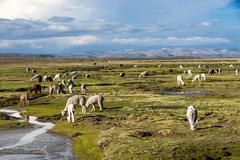 Llamas and alpacas graze in the mountains near Arequipa, Peru - stock photo