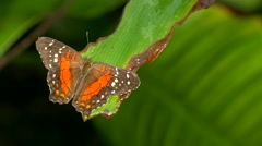 4K FHD Butterfly Leopard Lacewing Centhosia Cyane perched on leaf Stock Footage