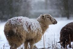 Farming - Livestock in Winter Snow - stock photo