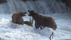 Alaskan Brown Bear Confrontation Between Male & Female - stock footage