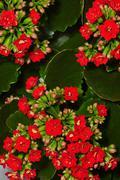 Geranium in bloom - stock photo