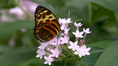 Slow Motion Butterfly Tiger Longwing Postman pollinating pollinate Stock Footage