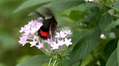 Slow Motion Butterfly Swallowtail Swallow Tail pollinating pollinate Stock Footage