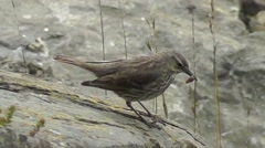 A Eurasian rock pipit walks to the edge of a cliff with a worm in its beak Stock Footage