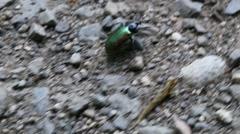 Forest Caterpillar Hunter (Calosoma sycophanta) Stock Footage
