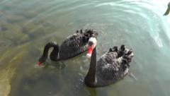 Close-up of a pair of black swans looking into the camera Stock Footage