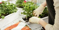 Woman planting potting flowers Stock Footage
