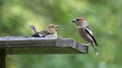 Hawfinch fledgling and adult bird Stock Footage