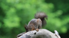 Eurasian red squirrel (Sciurus vulgaris) Stock Footage