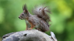 Eurasian red squirrel (Sciurus vulgaris) - stock footage