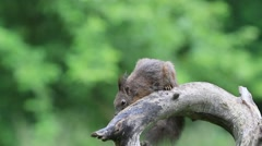 Eurasian red squirrel (Sciurus vulgaris) Stock Footage