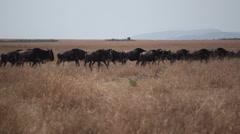 Wild Wildebeest migration across savannah, Safari Kenya Stock Footage