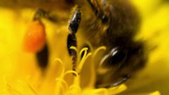 Bee pollinating a flower Stock Footage