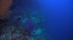 Sea fans and whip corals Stock Footage