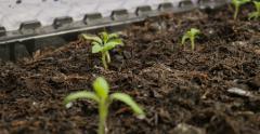 Movement through tomato seedlings growing Stock Footage