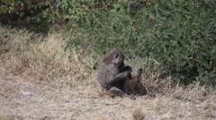 Monkey baboon cleaning himself, Masai Mara, safari Kenya Stock Footage
