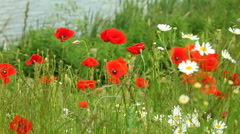 Red poppy flowers on meadow - stock footage