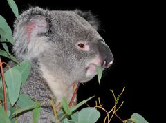 Cute koala eating eucalyptus Stock Photos