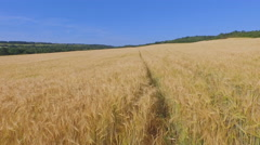 Ripe fields of barley Stock Footage