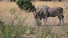 Giant Eland grazing Savannah, Masai Mara, safari Kenya Stock Footage