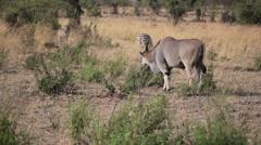 Giant Eland and Zebras grazing, Masai Mara Savannah, safari Kenya Stock Footage