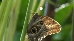 Slow Motion Butterfly Owl Caligo Eurilochus perched on leaf n flying around - stock footage