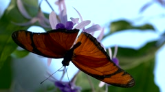 4K FHD UHD Butterfly Julia Heliconian Dryas julia Fabricius Stock Footage