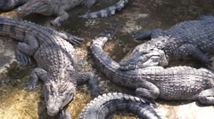 Large crocodiles live in the farm. Philippines. - stock footage