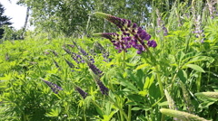 Stock Video Footage of Lupine abundant blooms in the meadow between.
