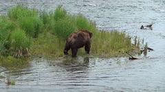Large Brown Bear Boar Walking Away Stock Footage