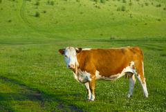 Stock Photo of Cow on a mountain pasture