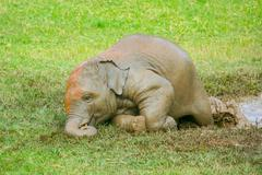 Baby elephant laying down - stock photo