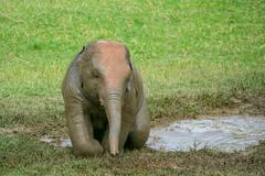 Baby elephant climbing out of water - stock photo