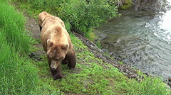 Stock Video Footage of Brown Bear Sow with Cub Walks My Way then Turns Around