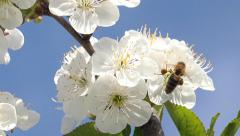 4K Bee flowering cherry in spring on a sunny day, closeup. UHD stock video - stock footage