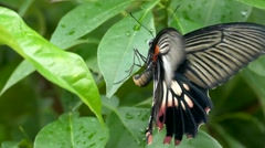 Excellent Butterfly Swallowtail LAYING EGG under leaf 4K Stock Footage