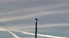 Great Blue Heron Chem Trails Backgrounds Nature Outdoors Blue Sky Bird Zoom In Stock Footage