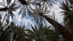 4k tighmert oasis palm palmerie nature morocco landscape Stock Footage